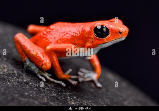 Strawberry dart frog, Oophaga pumilio 'Quebrada sal' - Stock Image