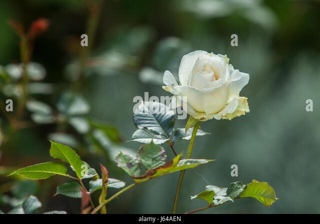 Rose Margarel Merril, a strongly perfumed fragrant repeat flowering white rose - Stock Image