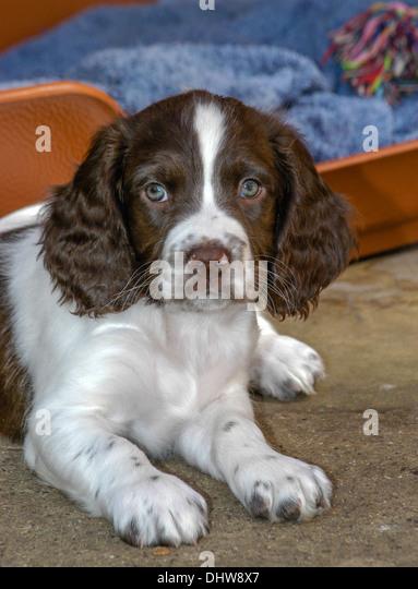 Dog English Spaniel Pu...