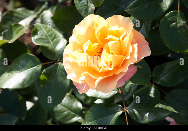 Meilland stock photos meilland stock images alamy for Rose meilland