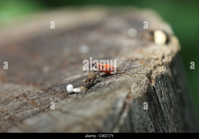 wood bug stock photos wood bug stock images alamy. Black Bedroom Furniture Sets. Home Design Ideas