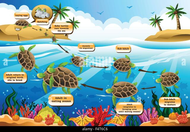 Leatherback Sea Turtle Life Cycle Bigking Keywords And Pictures