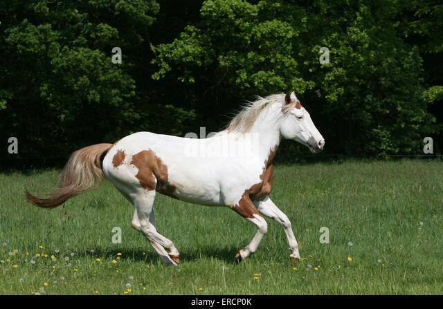 Galloping Horse And Meadow Stock Photos & Galloping Horse ...