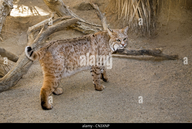 Lynx Rufus Stock Photos Lynx Rufus Stock Images Alamy