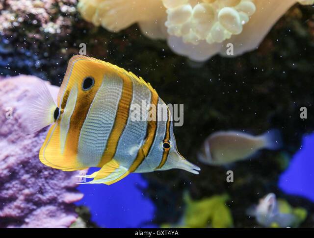 Black angelfish stock photos black angelfish stock for Black and white striped fish freshwater