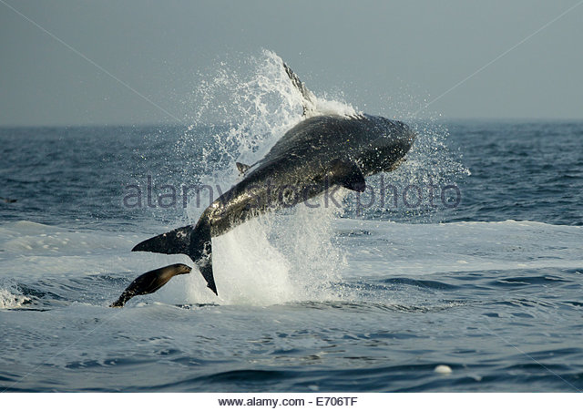 Great White Shark Attacks Seal