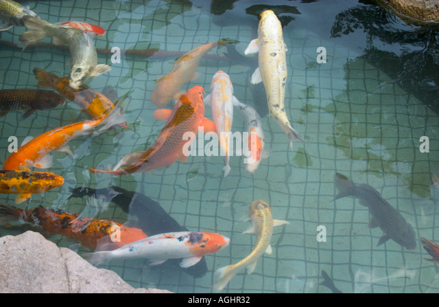 Breeding fishes stock photos breeding fishes stock for Koi fry pool