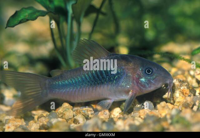 corydoras fish corydoras blochi adult schwartz s cory schwartz s ...