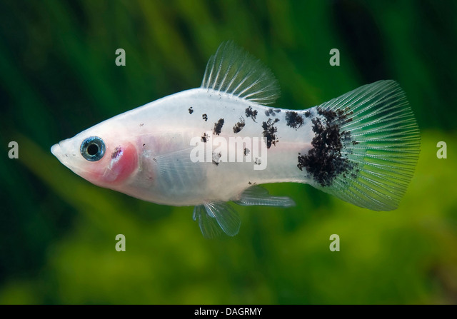 Poeciliids stock photos poeciliids stock images alamy for Platy fish breeding