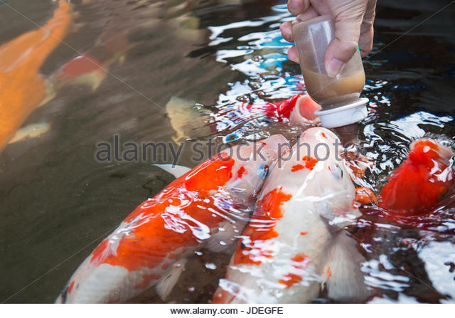 Colorful life koi fish pond stock photos colorful life for Koi feeding