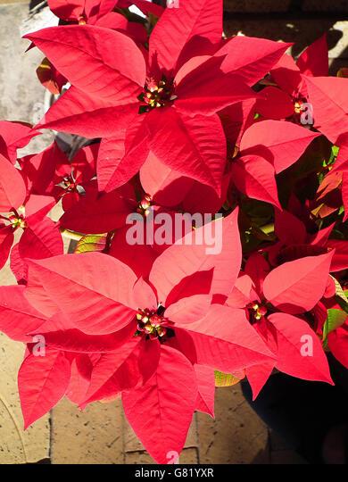 Купить цветы euphorbia pulcherrima подарок начальника мужчины юбилей