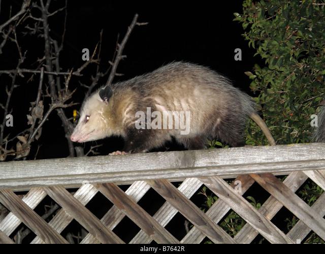 Virginia Opossum On Backyard Fence   Stock Image
