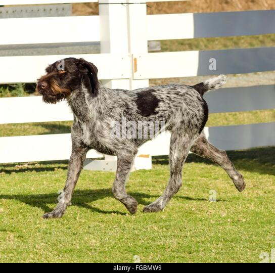 German Shorthaired Pointer Black Stock Photos & German ...