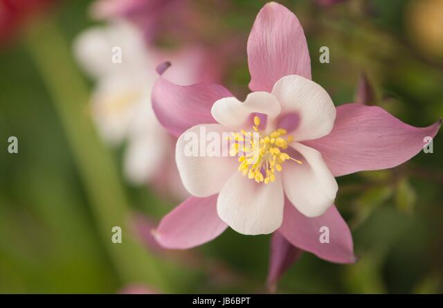 pink flowers of columbine stock photos  pink flowers of columbine, Beautiful flower