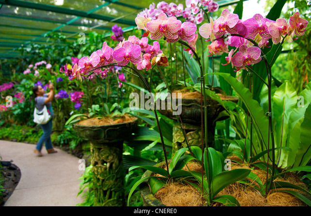 Nice Orchids In A Greenhouse In The National Orchid Garden In The Botanic Gardens  In Singapore
