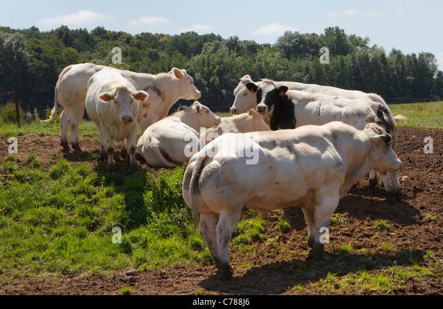 Belgian Blue Cattle | www.pixshark.com - Images Galleries ...