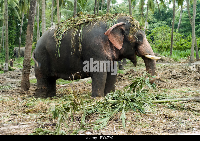 Elephant Ears Plant Stock Photos & Elephant Ears Plant ...