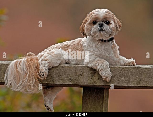 FEMALE SHIH TZU DOG RESTING ON BENCH OUTDOORS. UK   Stock Image