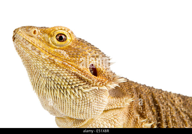 Bearded Dragon On White Stock Photos & Bearded Dragon On ...