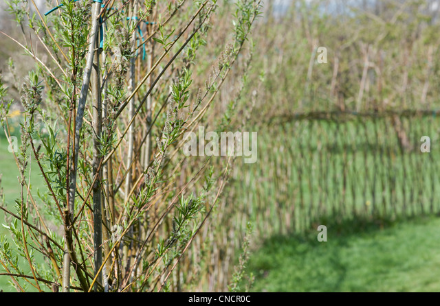 Living willow fence at Ryton Organic Garden centre  Warwickshire  England    Stock ImageWillow Fence Stock Photos   Willow Fence Stock Images   Alamy. Living Willow Fence Panels. Home Design Ideas