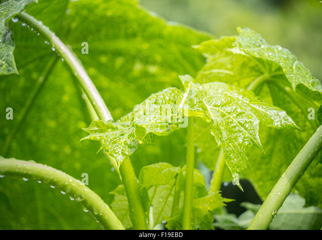 papaya tree stock photos amp papaya tree stock images alamy