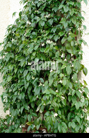 clematis urophylla winter beauty in stock photos clematis urophylla winter beauty in stock. Black Bedroom Furniture Sets. Home Design Ideas