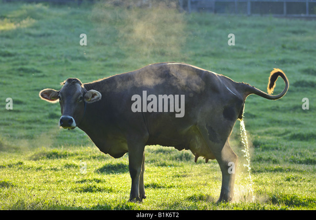 Whos pissing off the cows