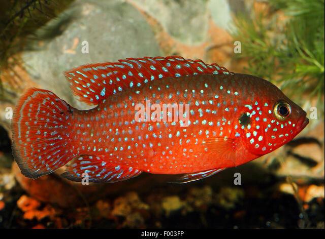 Blood Red Jewel fish, Blood Red Jewel (Hemichromis lifalili), swimming ...