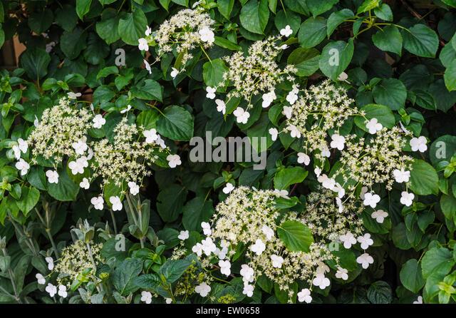 Climbing hydrangea hydrangea petiolaris stock photos - Hydrangea petiolaris ...