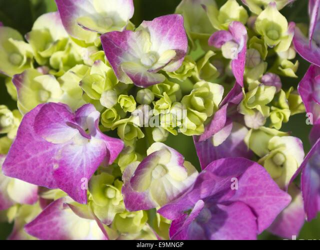 bauern hortensie stock photos bauern hortensie stock. Black Bedroom Furniture Sets. Home Design Ideas