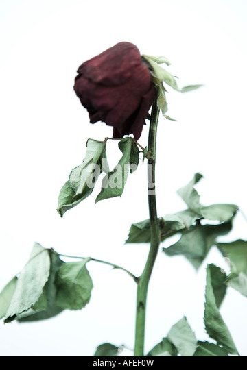 dying rose stock photos amp dying rose stock images alamy