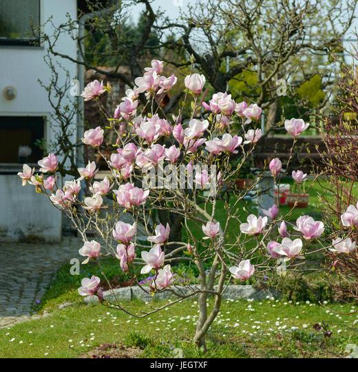 tulpen magnolie stock photos tulpen magnolie stock. Black Bedroom Furniture Sets. Home Design Ideas