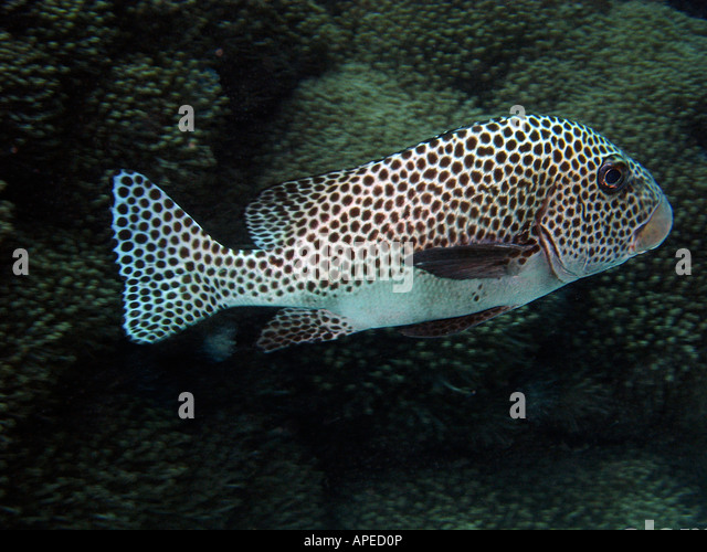 Haemulidae stock photos haemulidae stock images alamy for Sweet lips fish