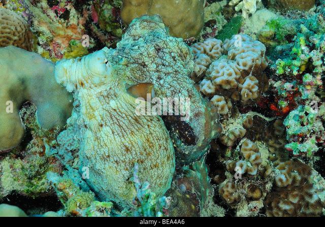 Scientific Name Octopu...