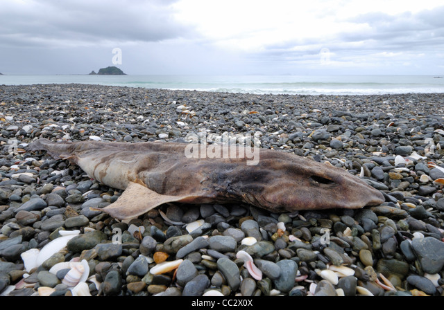 Washed up dead fish stock photos washed up dead fish stock dead carpet shark cephaloscylium isabellum washed up on stony beach mimiwhangata new zealand publicscrutiny Image collections