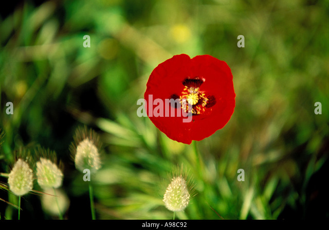 Flower native to mediterranean europe stock photos flower native to mediterranean europe stock - Flowers native to greece a sea of color ...