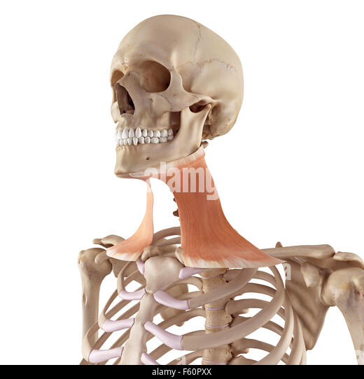 platysma stock photos & platysma stock images - alamy, Skeleton