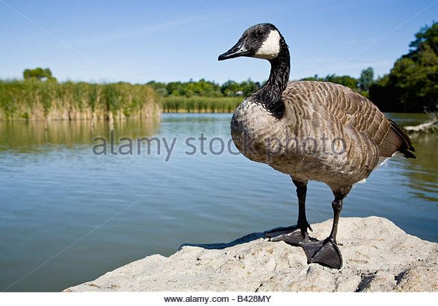 Canada Goose' cheap area