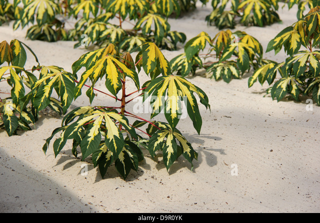cassava crop Research at lita covers crop improvement, plant health, and resource management of cassava, cowpea, soybean, maize, banana, and yam within a food systems framework.