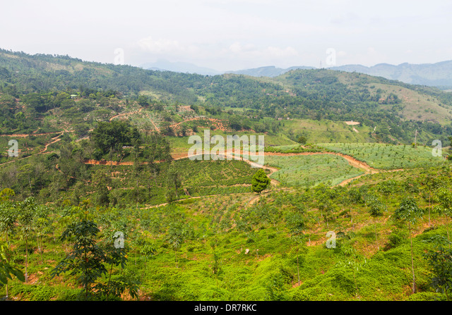 Pineapple Fields Stock Photos & Pineapple Fields Stock ...