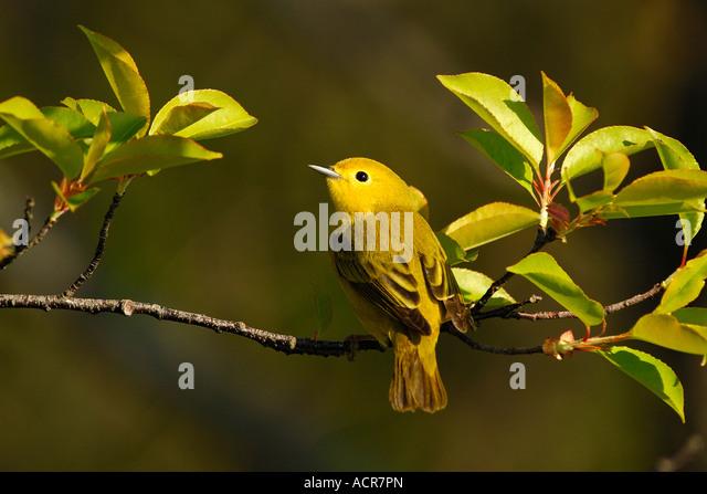 wilsons warbler female