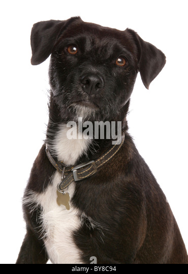adult patterdale terrier launches Sooty