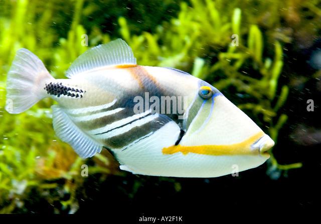 Queen Triggerfish Teeth Triggerfish Stock Phot...
