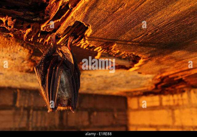 bat mammal stock photos bat mammal stock images alamy