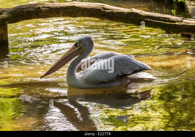 Leisurely swim stock photos leisurely swim stock images for Koi in paddling pool