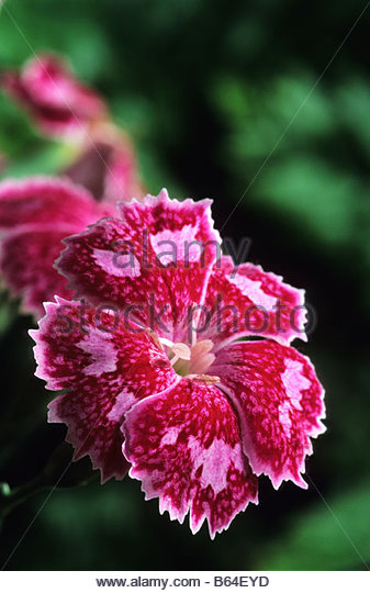 Old-Fashioned Pinks - Dianthus - Select Seeds 11