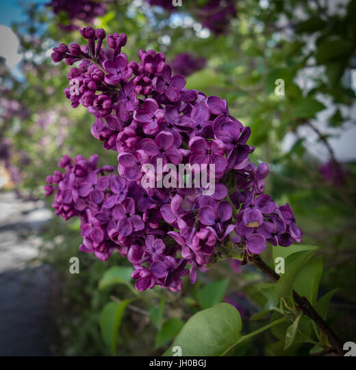 Lilac Fire Up Date >> Syren Stock Photos & Syren Stock Images - Alamy