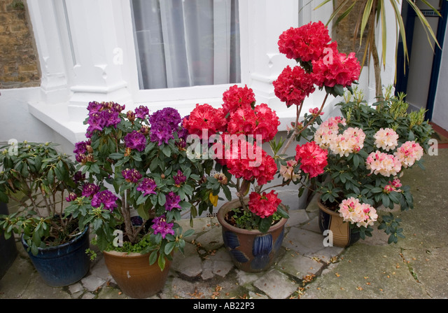 plant rhododendrons stock photos plant rhododendrons stock images alamy