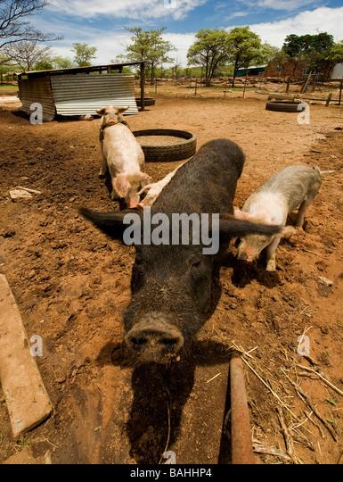 Modern Pig Sty: Pig Farm Sty Stock Photos & Pig Farm Sty Stock Images