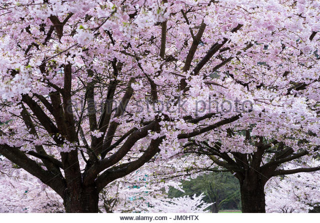 Cherry Blossoms Asian Dating Already A Member Toggle Bolts